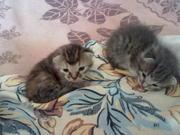 отдам красивых котят от деревенской  кошки-мышеловки