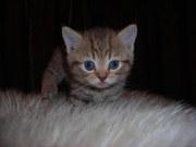 Продаюся шотландские котята