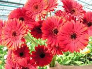 Цветы оптом. Тверь и Тверская область