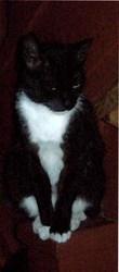 Кошка черно-белого окраса