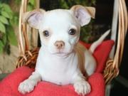 Прекрасные щенки чихуахуа!
