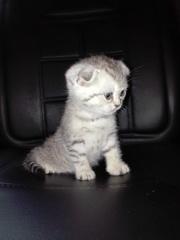 Предлагаем шотландских котят  ХАЙЛЕНД страйт ( прямоухая),  СКОТИШЬ фол