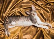 Продаж котят Корниш Рекс