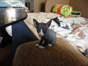 Донской сфинкс котята! — Тверь